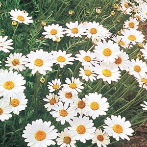 Hardy Perennials